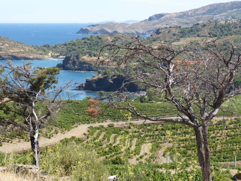 Vignes de Collioure (P.O)